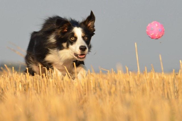 Border collie running dog field.