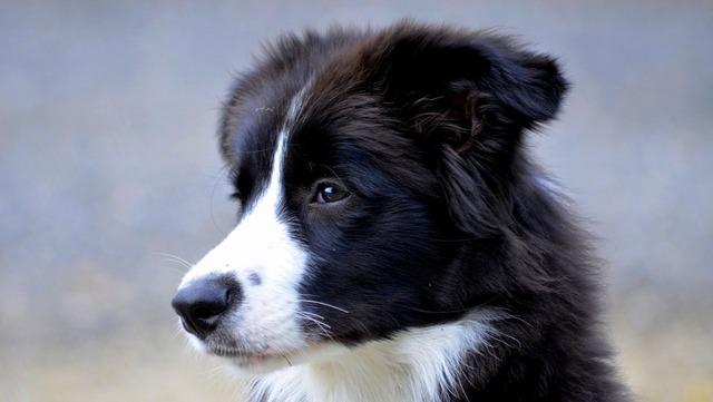 Border dog british sheepdog, animals.