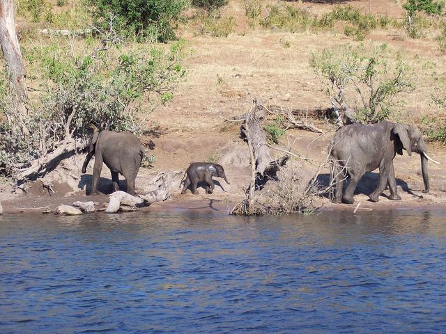 Botswana baby elephant.
