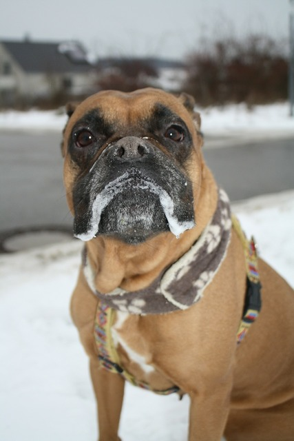 Boxer dog animal, animals.