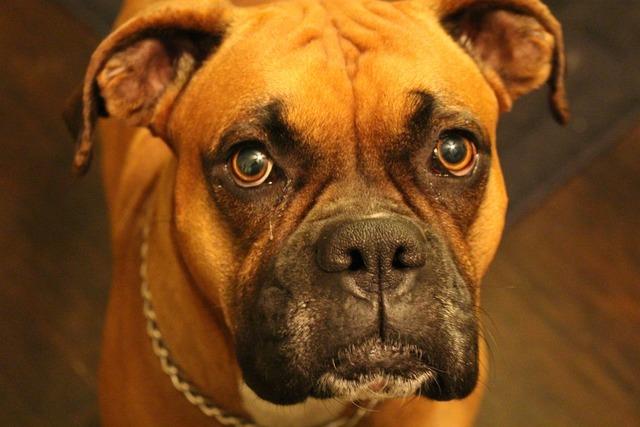 Boxer purebred canine, animals.