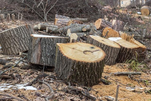 Branch stumps saw cut.