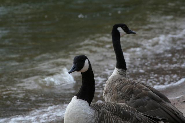 Branta canadensis canada goose bird, animals.