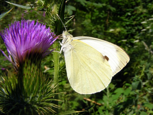 Brimstone butterfly white, nature landscapes.