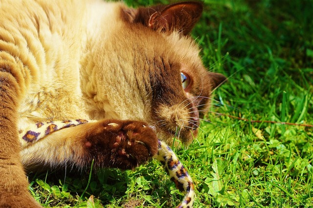 British shorthair cat play, animals.