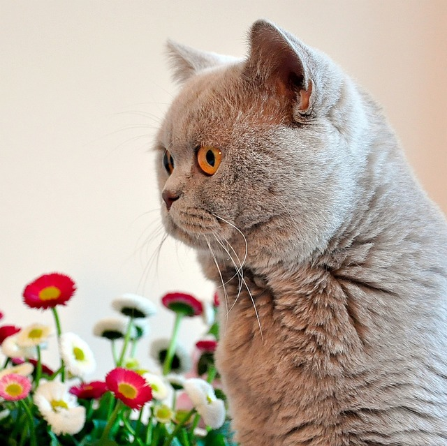 British shorthair lilac grey, animals.