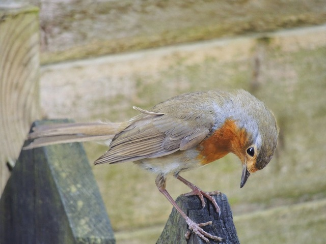 British uk bird, animals.