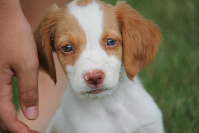 Brittany dog puppy, animals.