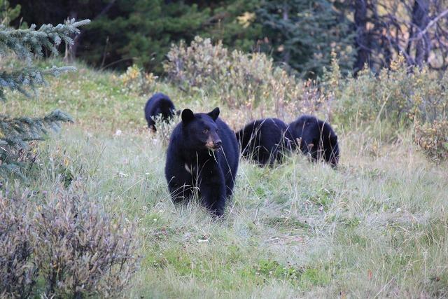Brown bear canada wild.