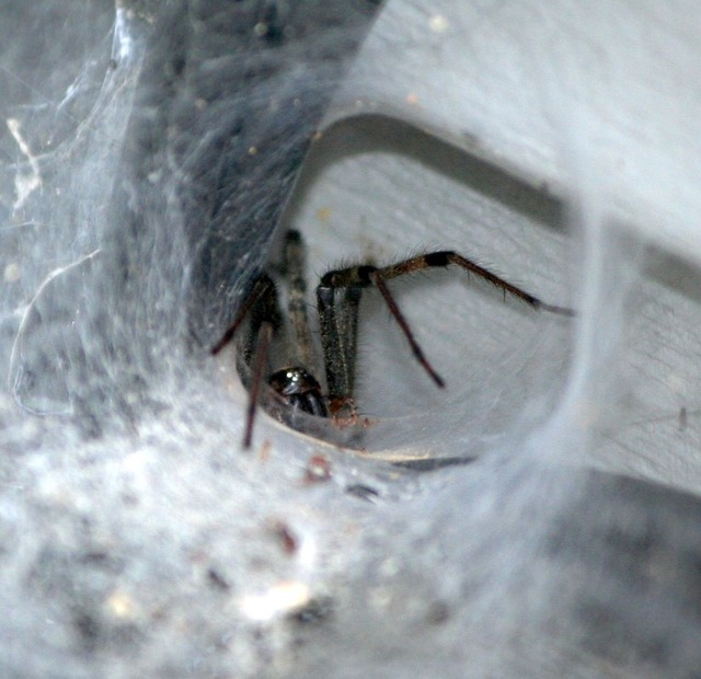 Brown funnel spider tunnel web predator, emotions.