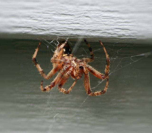Brown house spider web weaving predator, animals.