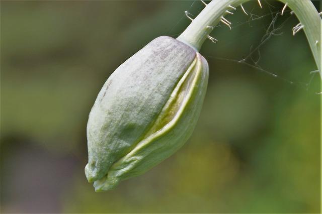 Bud poppy plant, nature landscapes.
