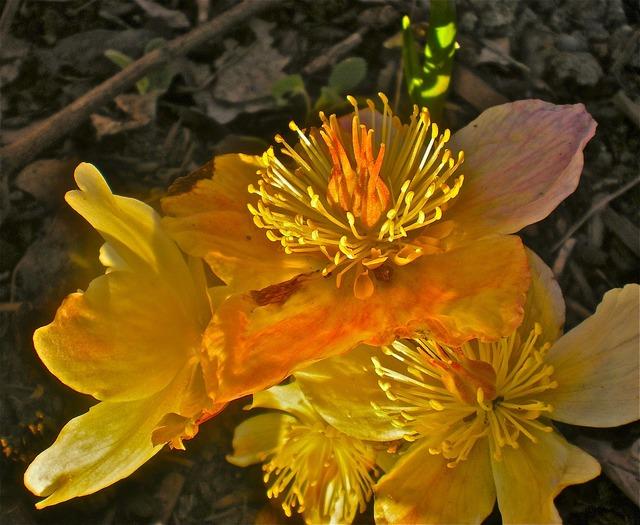 Buds yellow flowers.