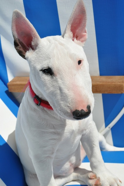 Bull terrier dog animal, animals.