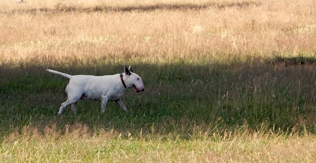 Bull terrier dog terrier, animals.