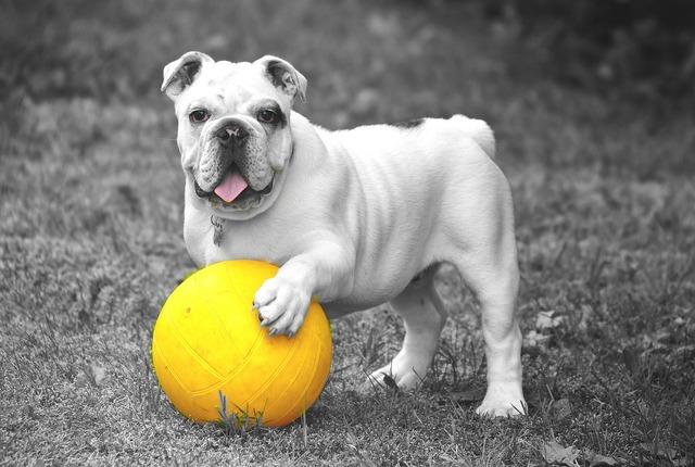 Bulldog dog animal, animals.