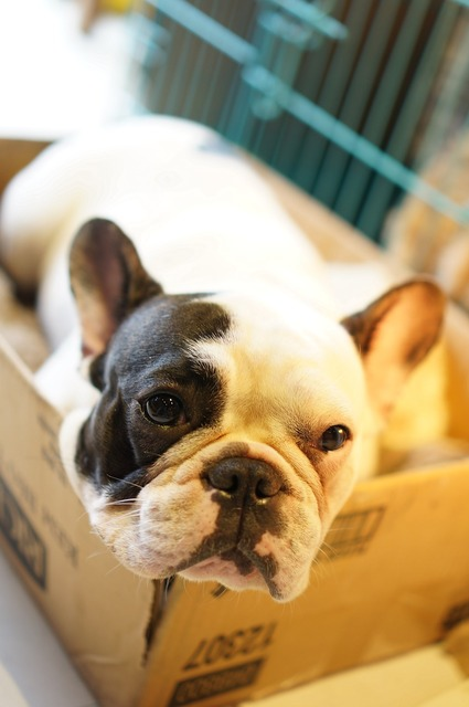 Bulldog dog box, animals.