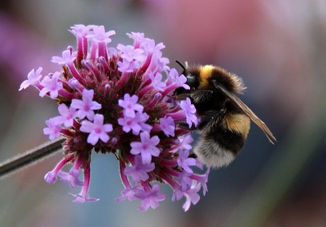 Bumblebee bumble bees summer, animals.