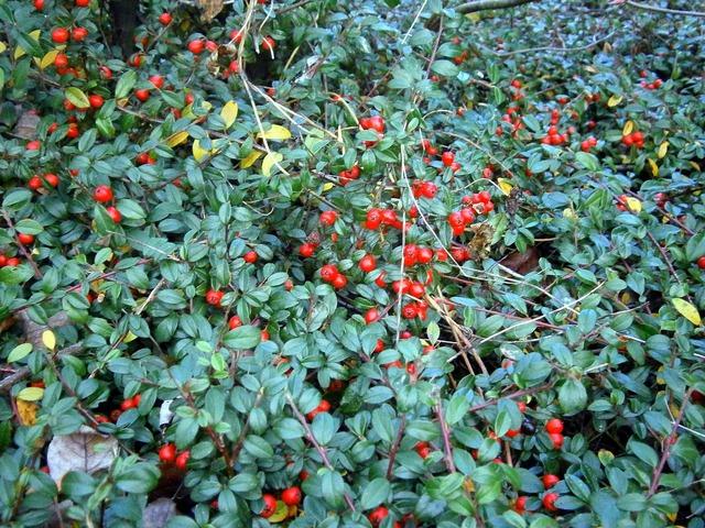 Bush ground cover berry, nature landscapes.