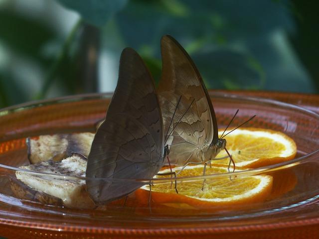 Butterflies feeding sugar water, animals.