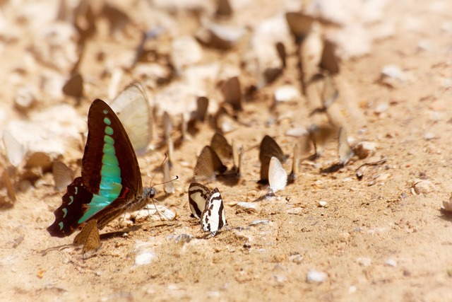 Butterfly ban krang camp the national park.