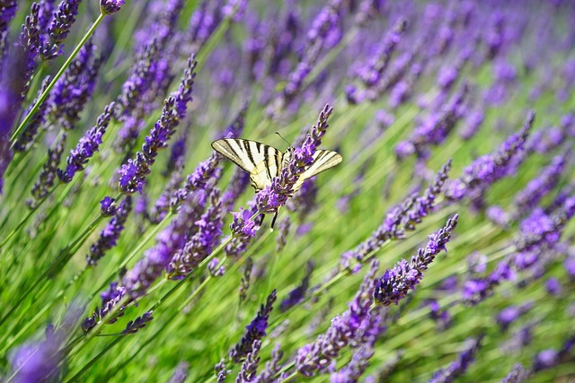Butterfly dovetail lavender field, nature landscapes.