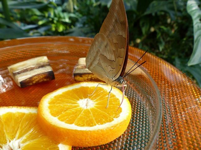 Butterfly feeding sugar water, animals.