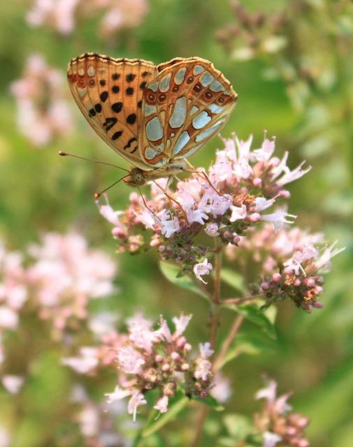 Butterfly fritillary gorj.