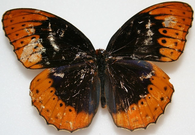 Butterfly male diana fritillary, animals.