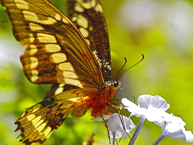 Butterfly nectar overloaded, animals.