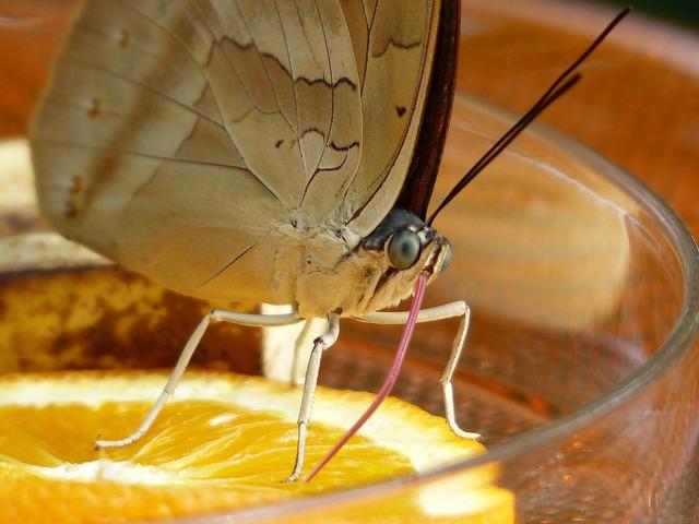 Butterfly suction nozzles proboscis, animals.