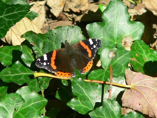 Butterfly tortoiseshell insects.