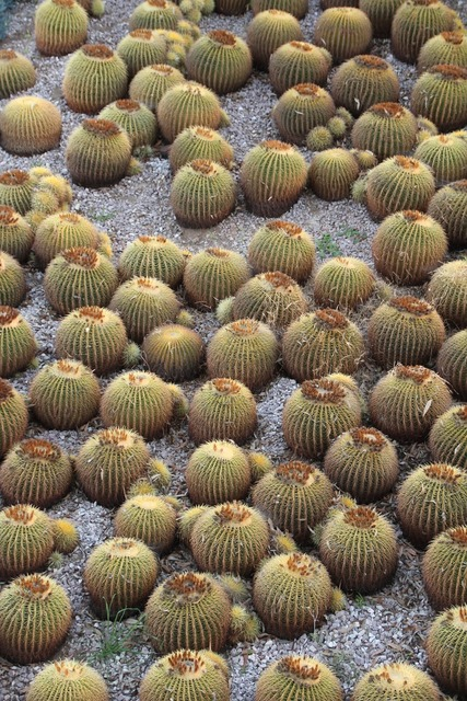 Cacti cactus california.