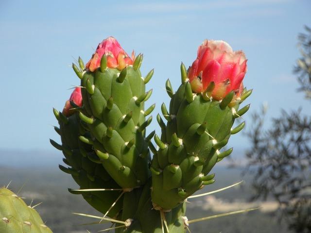 Cactus blossom cactus bloom, nature landscapes.