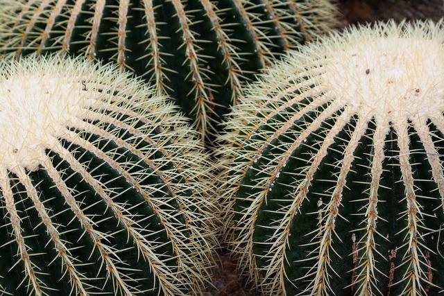 Cactus cactaceae echinocactus grusonii, nature landscapes.