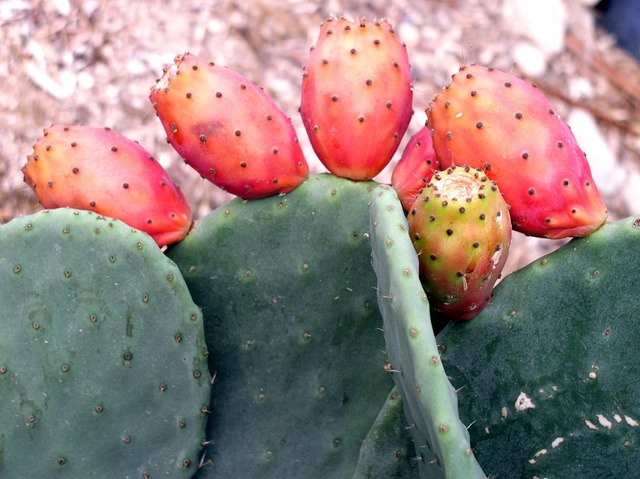 Cactus cactus fig plant, nature landscapes.