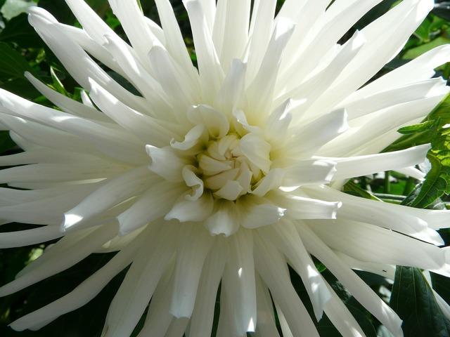 Cactus dahlia dahlia garden dahlia, nature landscapes.