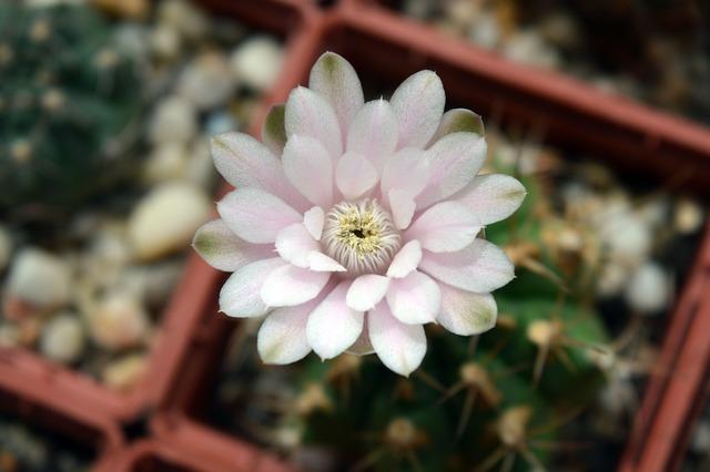 Cactus flower gymnocalycium indoor plant, nature landscapes.