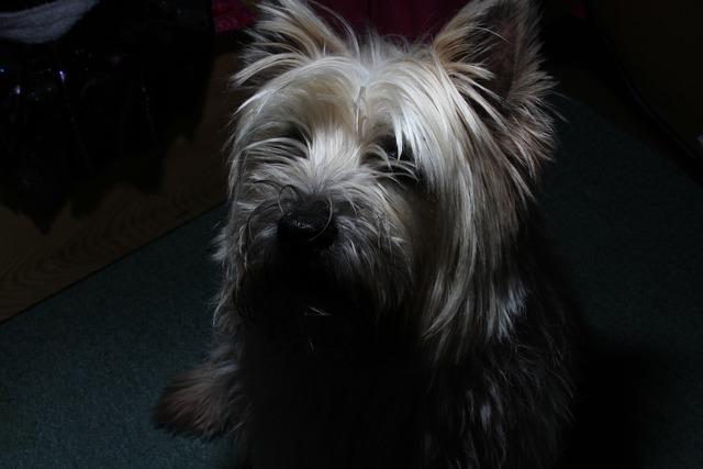 Cairn terrier dog, animals.