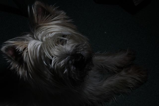 Cairn terrier dog cairn, animals.