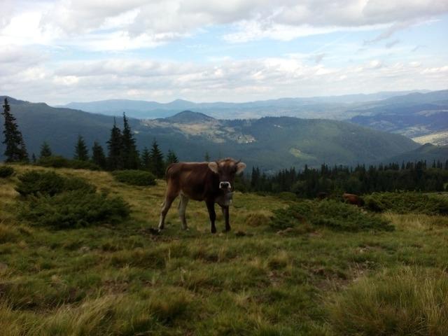 Calf the carpathians summer.