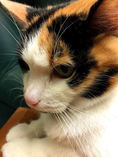 Calico cat feline, animals.