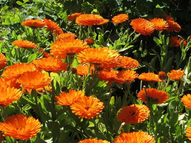 Callendulla sunshine floral.