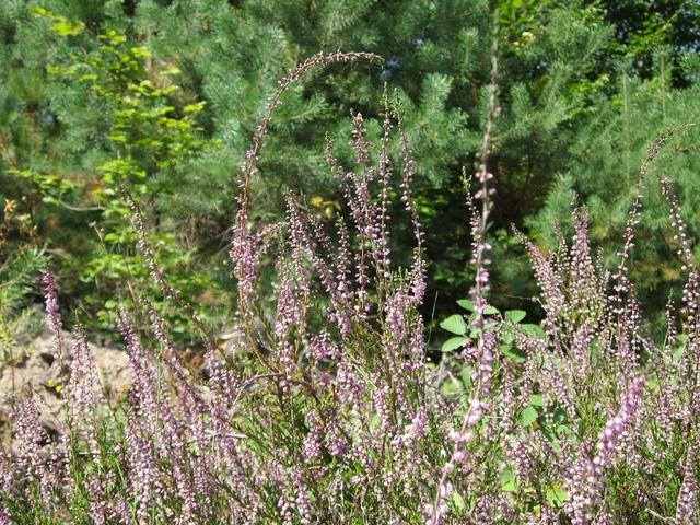 Calluna vulgaris common heather ling, nature landscapes.