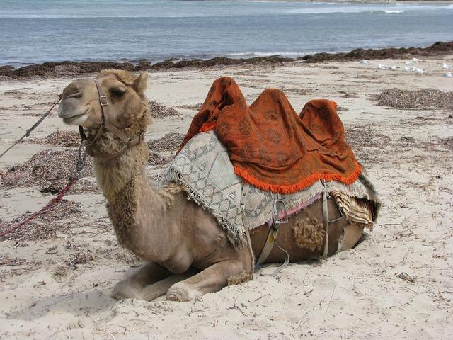 Camel beach australia, travel vacation.