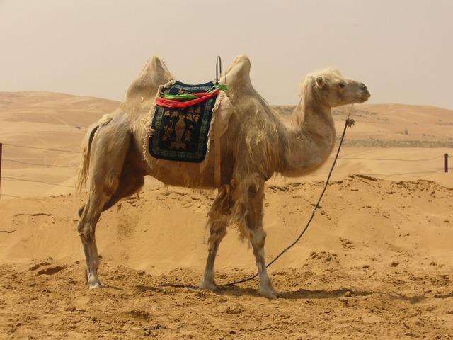 Camel desert sand.