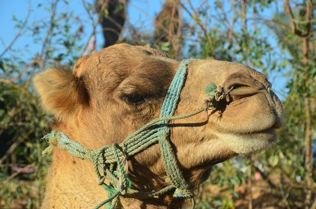 Camel desert ship dromedary.