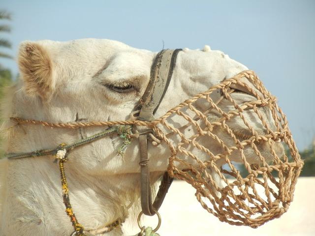 Camel dromedary desert.