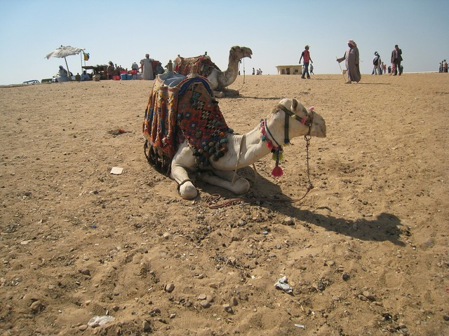 Camel egypt cairo, animals.