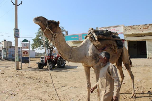 Camel man rajasthan, people.